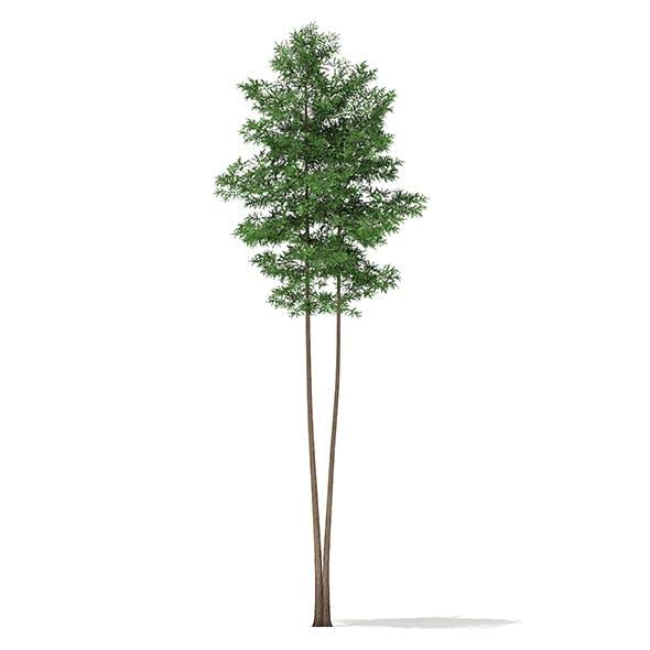 Scots Pine Tree (Pinus sylvestris) 27.4m - 3DOcean Item for Sale