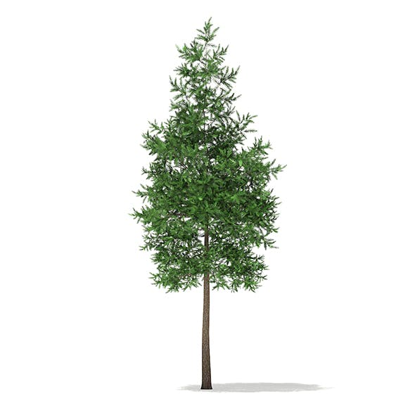 Scots Pine Tree (Pinus sylvestris) 8.4m