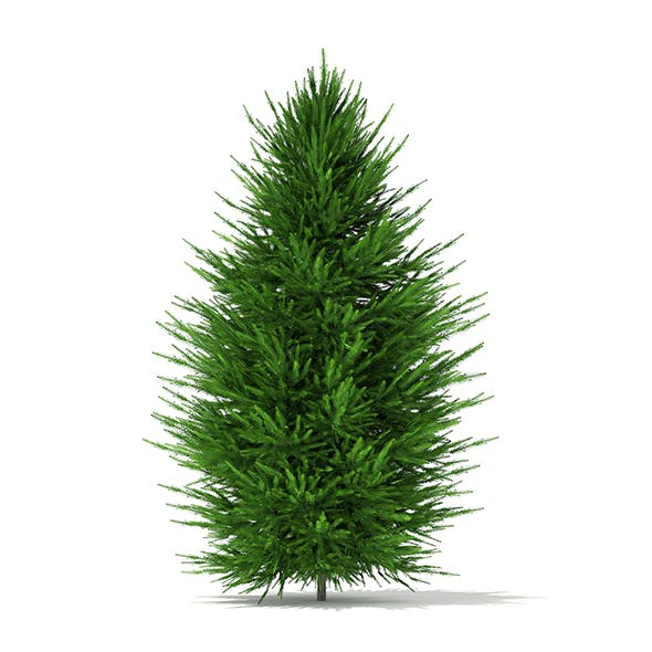 Norway Spruce (Picea abies) 2.4m - 3DOcean Item for Sale