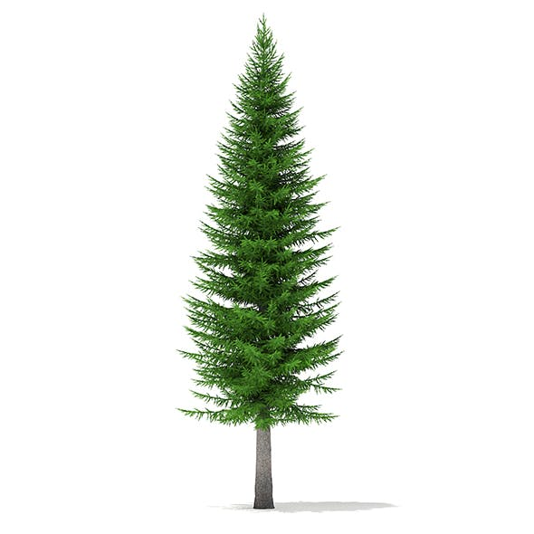 Norway Spruce (Picea abies) 11.3m