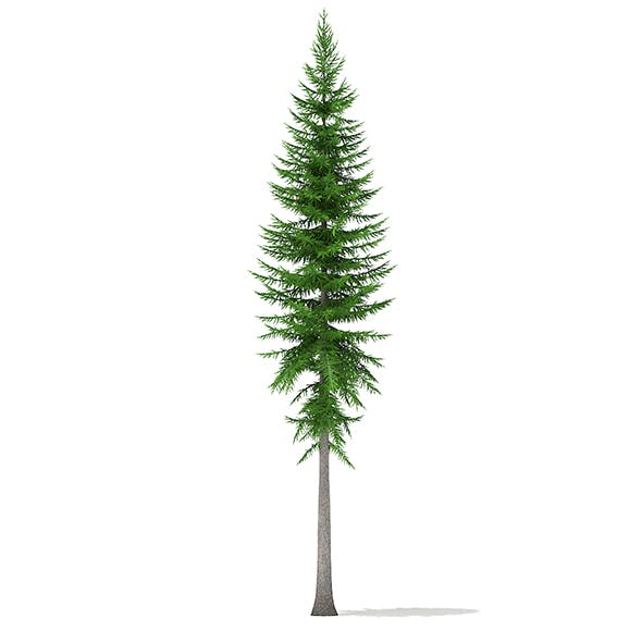 Norway Spruce (Picea abies) 14m