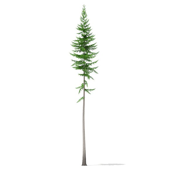 Norway Spruce (Picea abies) 15.8m
