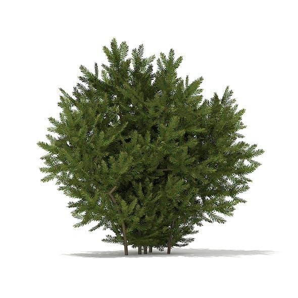 European Yew (Taxus baccata) 1.4m