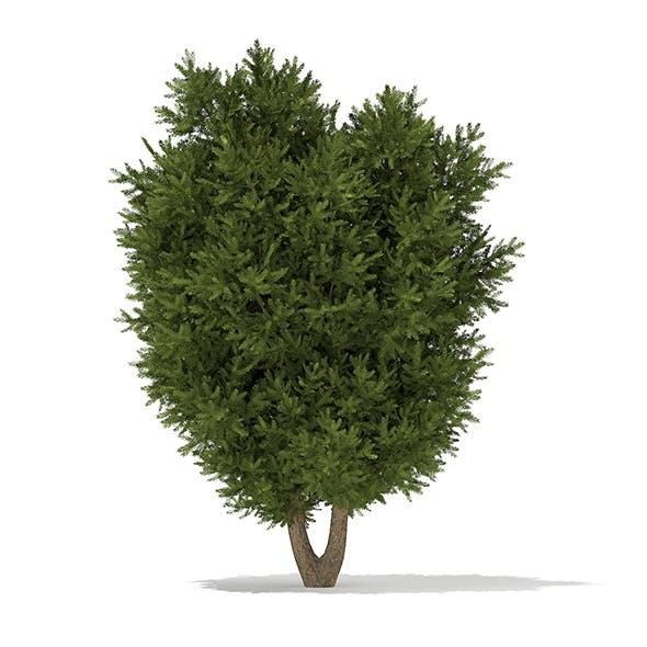European Yew (Taxus baccata) 3.7m
