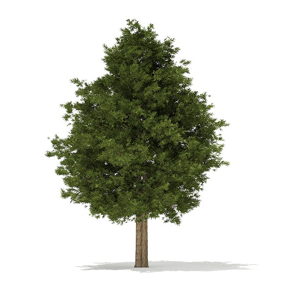 European Yew (Taxus baccata) 12.6m