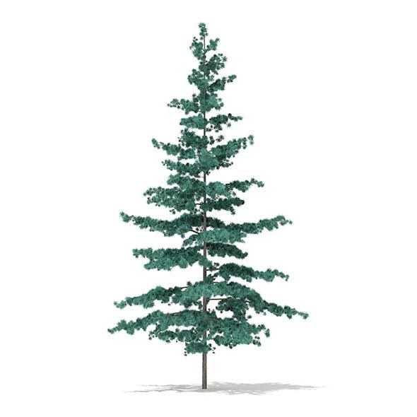 Blue Atlas Cedar (Cedrus atlantica) 1.6m