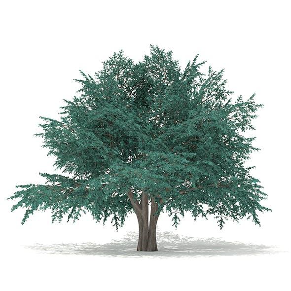 Blue Atlas Cedar (Cedrus atlantica) 13.2m