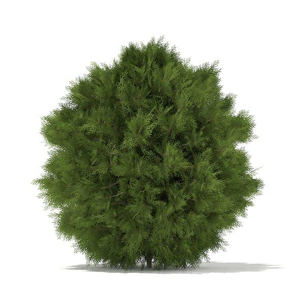 White Cedar (Thuja occidentalis) 1.2m - 3DOcean Item for Sale