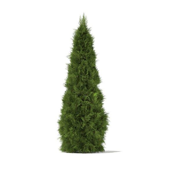 White Cedar (Thuja occidentalis) 2.3m