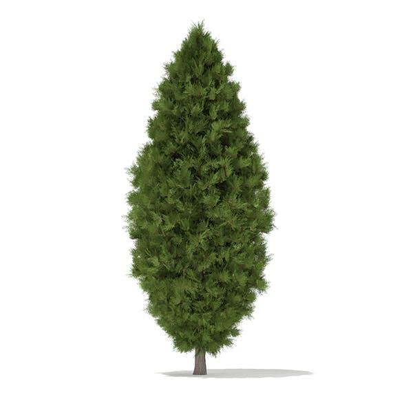 White Cedar (Thuja occidentalis) 3.4m - 3DOcean Item for Sale