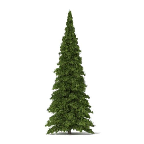 White Cedar (Thuja occidentalis) 5.7m - 3DOcean Item for Sale