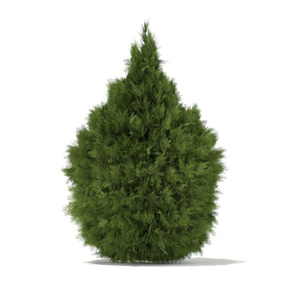 White Cedar (Thuja occidentalis) 2m - 3DOcean Item for Sale