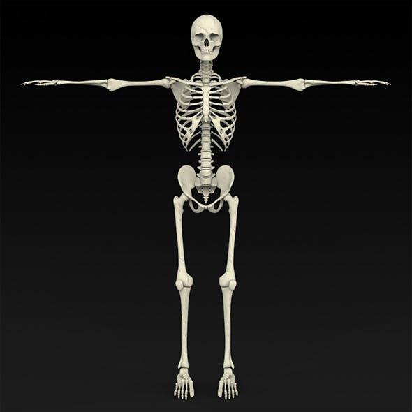 Realistic Human Skeleton - 3DOcean Item for Sale