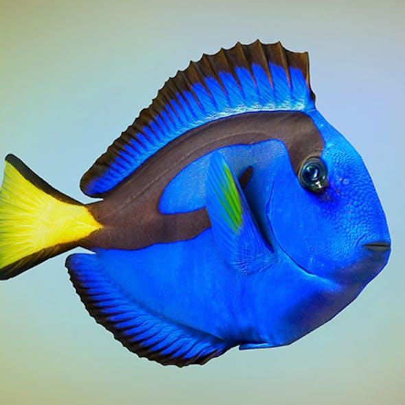 Fish Paracanthurus hepatus low-poly