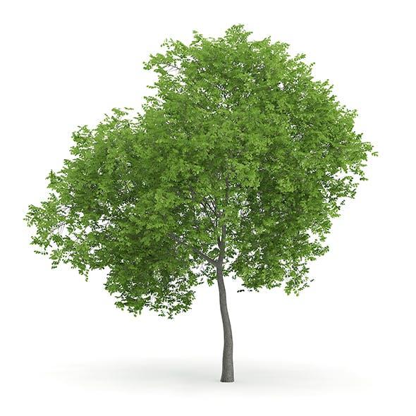Wild Service Tree (Sorbus torminalis) 7.3m - 3DOcean Item for Sale