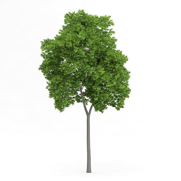 Wild Service Tree (Sorbus torminalis) 12.3m