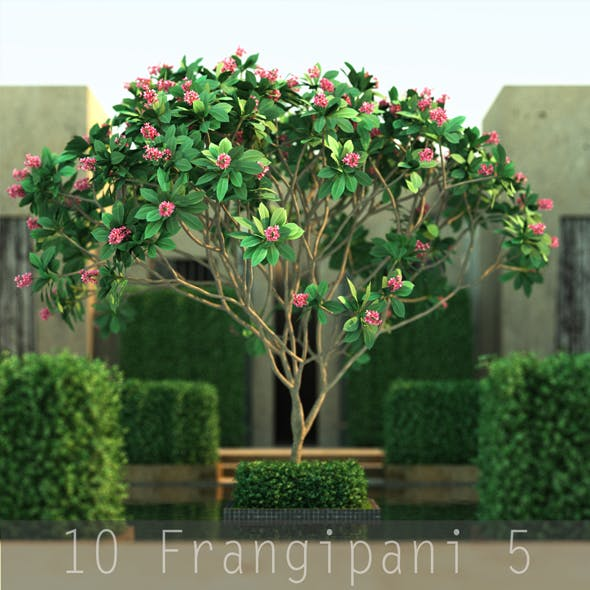 10 Frangipani 5 - 3DOcean Item for Sale