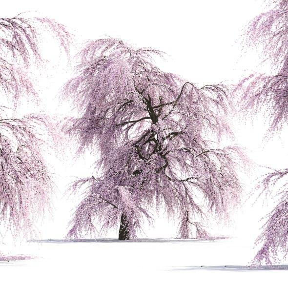 Sakura Tree - 3DOcean Item for Sale