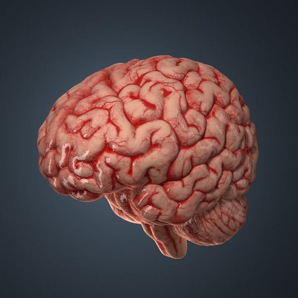 Human Brain. - 3DOcean Item for Sale