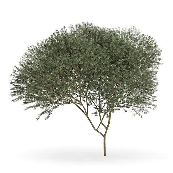 Sycamore Maple (Acer pseudoplatanus L.) 14.3m - 3DOcean Item for Sale