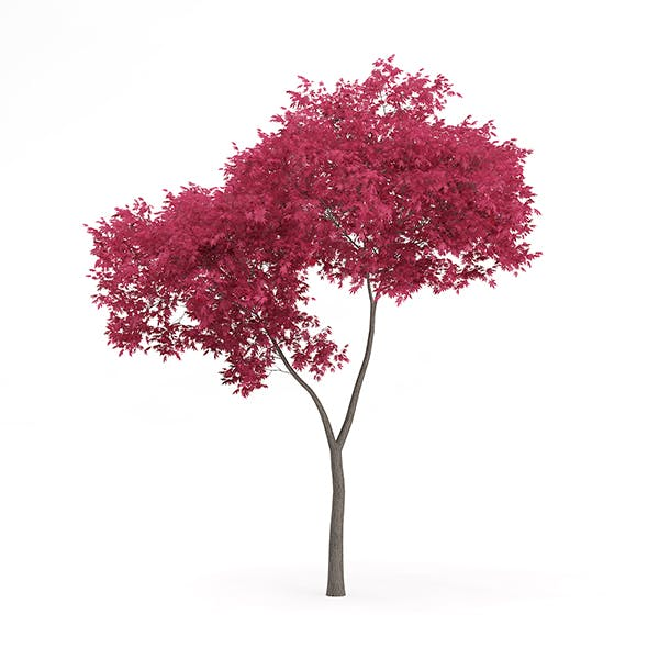 Palmate Maple (Acer palmatum) 4.8m