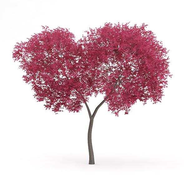 Palmate Maple (Acer palmatum) 5.5m - 3DOcean Item for Sale