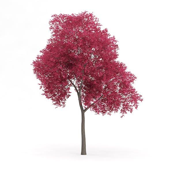 Palmate Maple (Acer palmatum) 8.5m - 3DOcean Item for Sale
