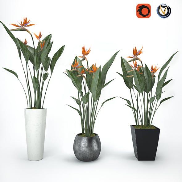 Strelitzia - 3DOcean Item for Sale