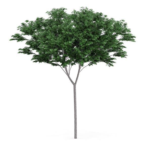 Common Ash (Fraxinus excelsior) 13.3m - 3DOcean Item for Sale