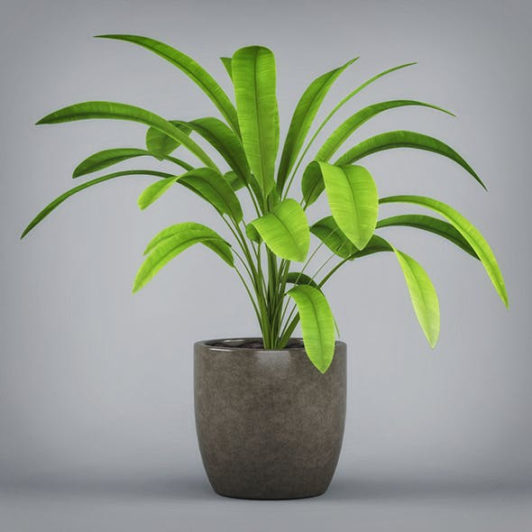 Potted Banana Plant - 3DOcean Item for Sale