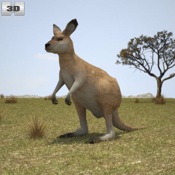 Eastern Grey Kangaroo Joey