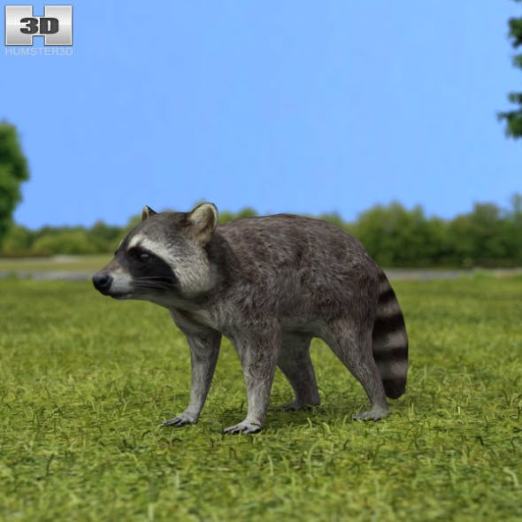 Raccoon - 3DOcean Item for Sale