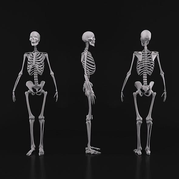 Human skeleton - 3DOcean Item for Sale