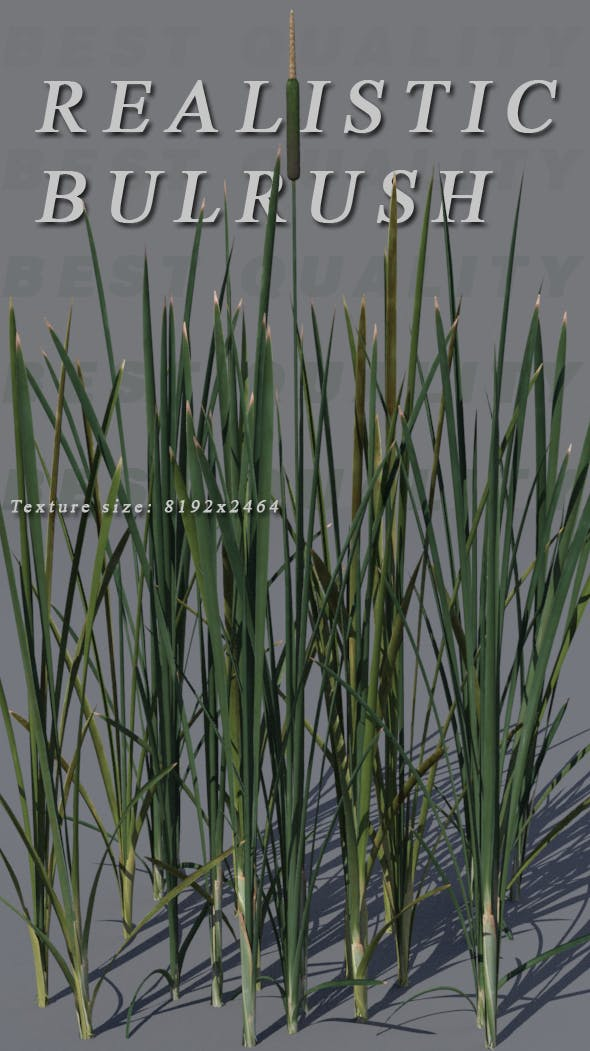 Bulrush - 3DOcean Item for Sale