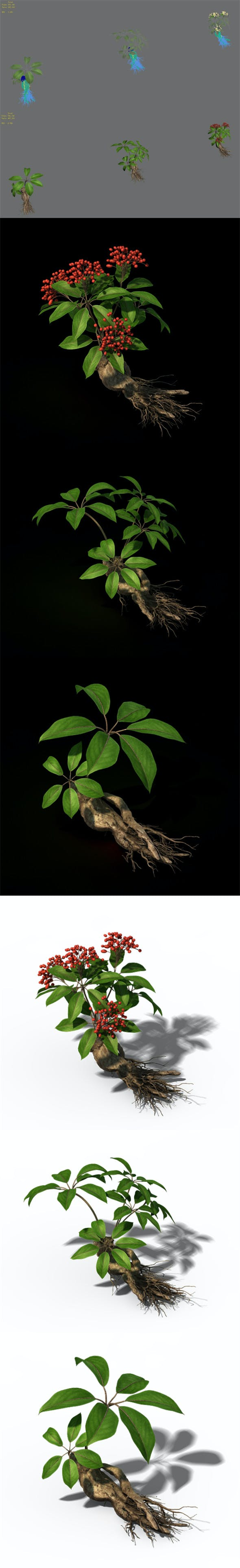 Plant - ginseng - 3DOcean Item for Sale