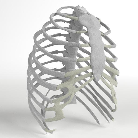 Anatomy - Human Rib Cage - 3DOcean Item for Sale