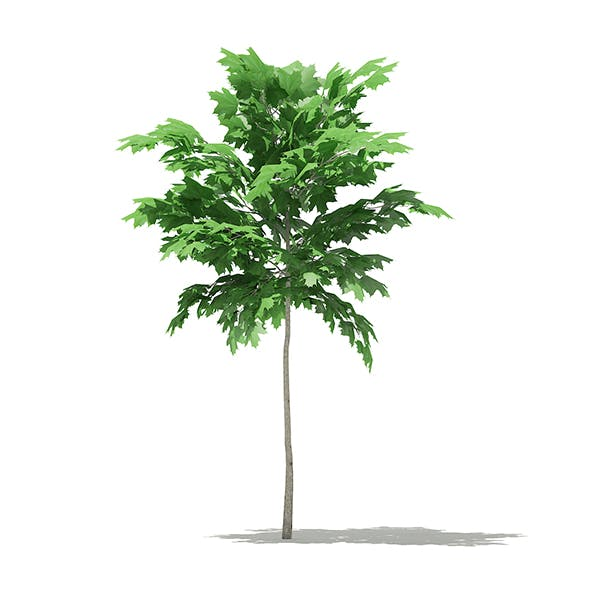Norway Maple (Acer platanoides) 2m - 3DOcean Item for Sale