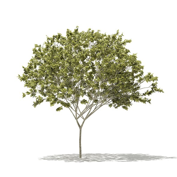 Norway Maple (Acer platanoides) 7.9m - 3DOcean Item for Sale