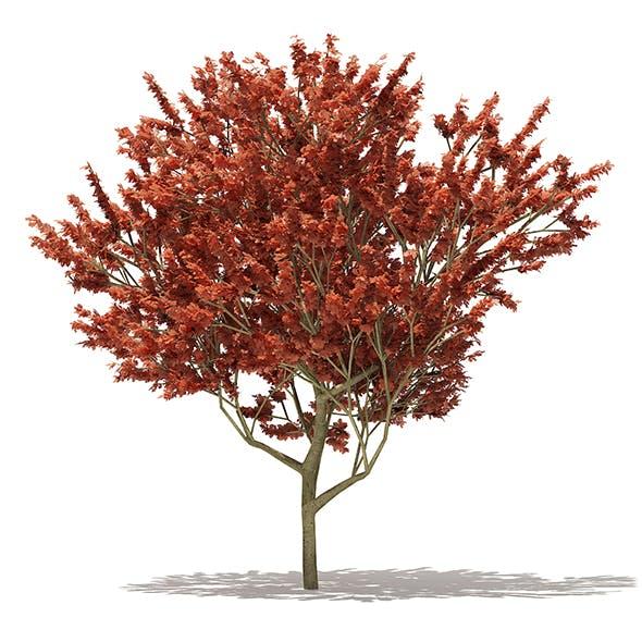 Red Oak (Quercus rubra L.) 13m - 3DOcean Item for Sale