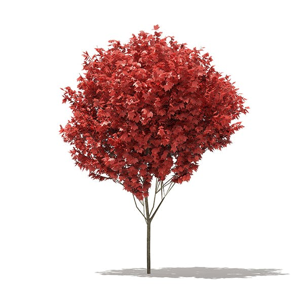 Red Maple (Acer rubrum) 5m - 3DOcean Item for Sale