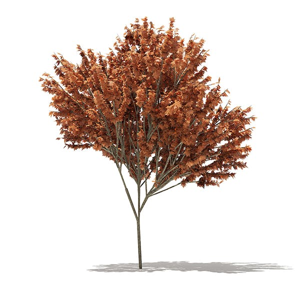 Red Maple (Acer rubrum) 5.7m - 3DOcean Item for Sale