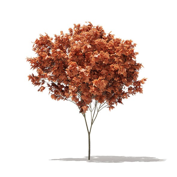 Red Maple (Acer rubrum) 4m - 3DOcean Item for Sale