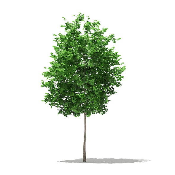 Ginkgo Tree (Ginkgo biloba) 3.5m - 3DOcean Item for Sale
