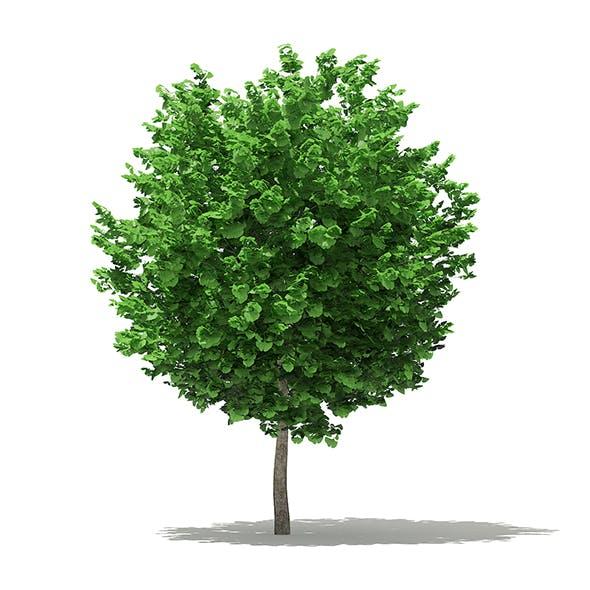 Ginkgo Tree (Ginkgo biloba) 3.6m - 3DOcean Item for Sale
