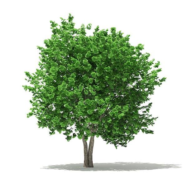 Ginkgo Tree (Ginkgo biloba) 4.3m