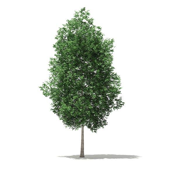 Tulip Tree (Liriodendron) 7.4m