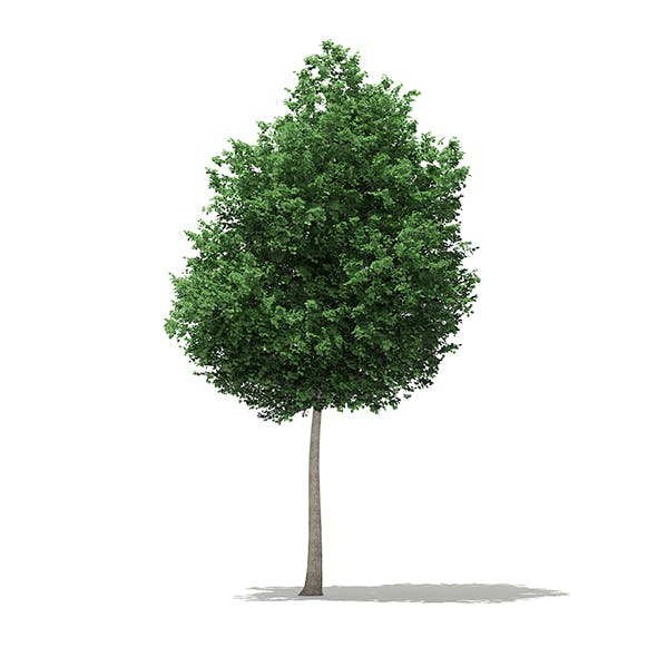 Tulip Tree (Liriodendron) 8.1m - 3DOcean Item for Sale