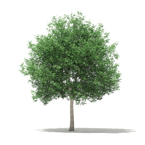 Tulip Tree (Liriodendron) 12m - 3DOcean Item for Sale