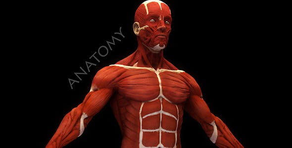 Human Anatomy Muscles - 3DOcean Item for Sale