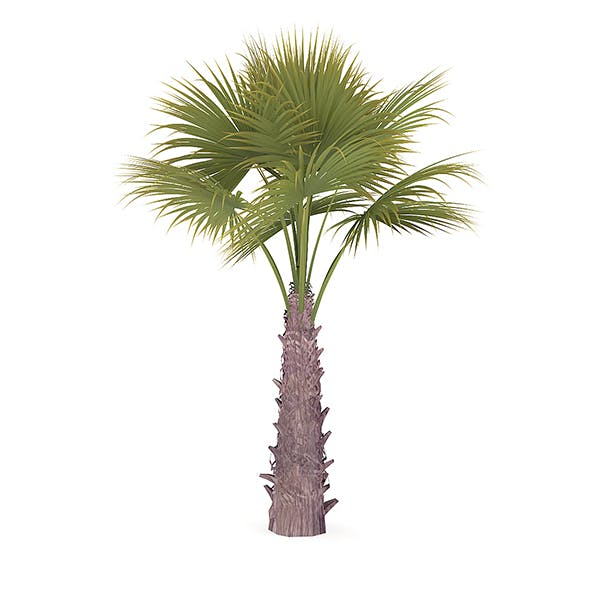 Windmill Palm - 3DOcean Item for Sale